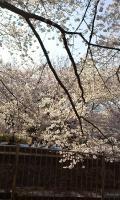 善福寺川桜