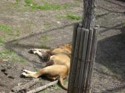 旭山 ライオン 1 縮小