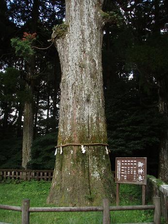 800年御神木