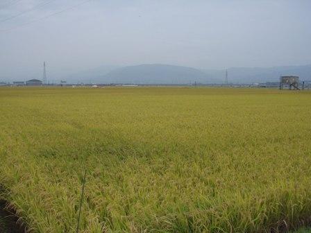 稲いっぱい