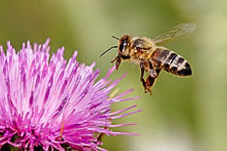 220px-Honeybee_landing_on_milkthistle02[1]