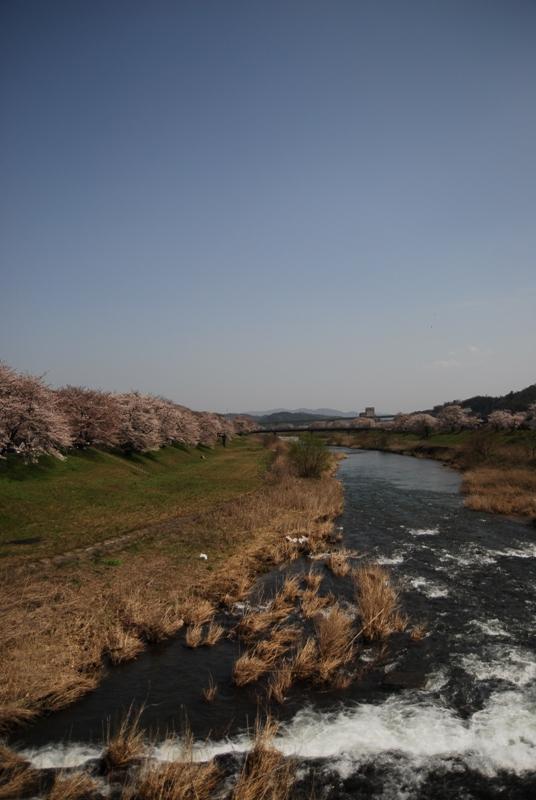 さくら・サクラ桜!!!