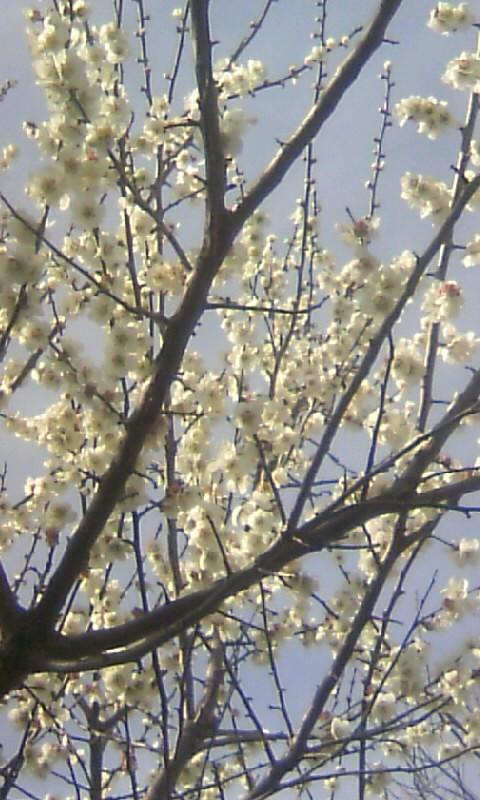 100303_143257果樹園の梅(食用)