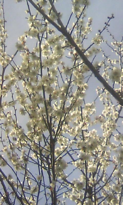 100303_143236果樹園の梅(食用)