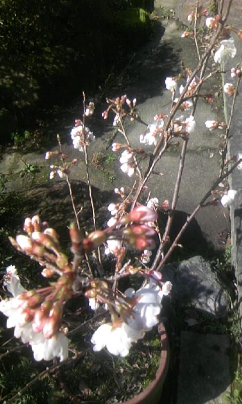 100305_110421さくらんぼの花