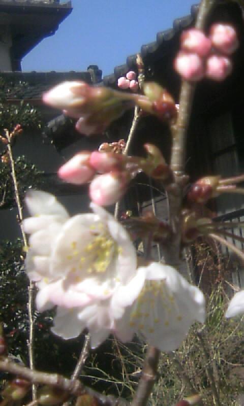 100305_104625さくらんぼの花