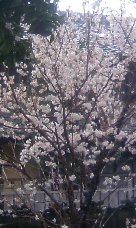 100309_093456今朝のサブの桜