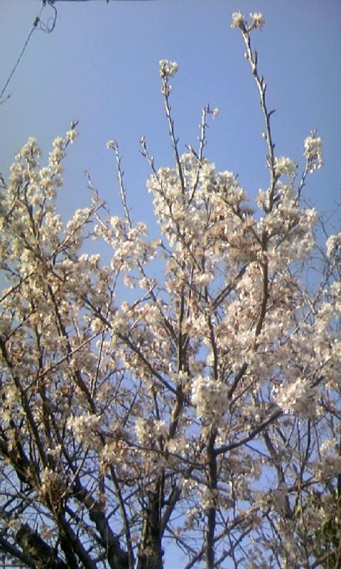 100311_154038サブの桜