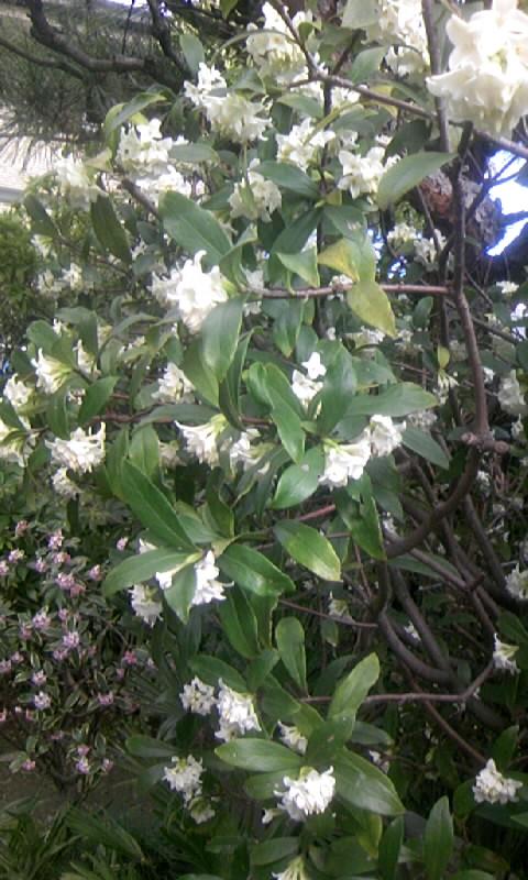 100310_121018白花の沈丁花