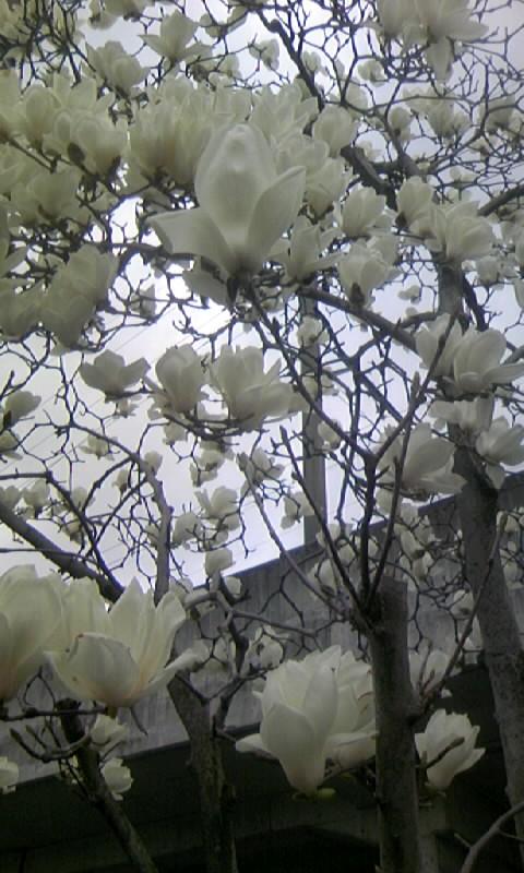 100315_132412街路樹のハクモクレン