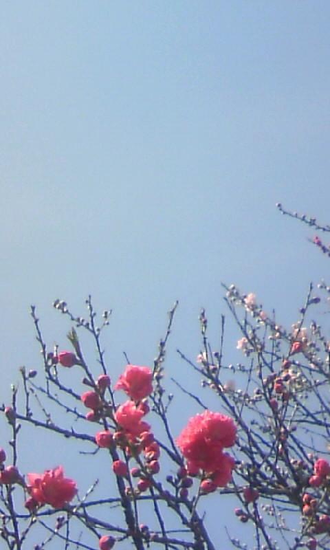 100327_135708お寺の桃