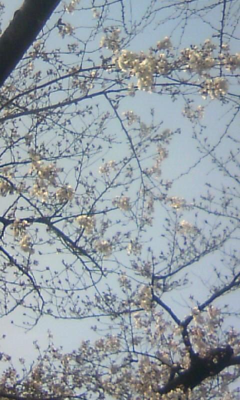 100327_141013幼稚園の桜