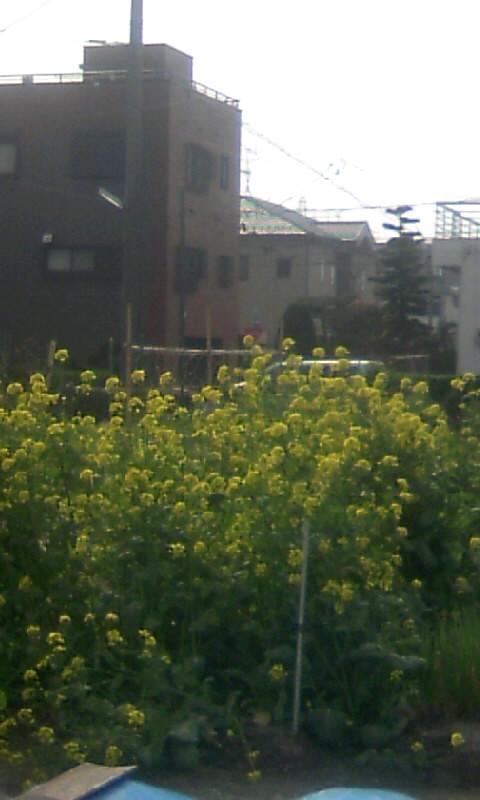 100327_150508菜の花