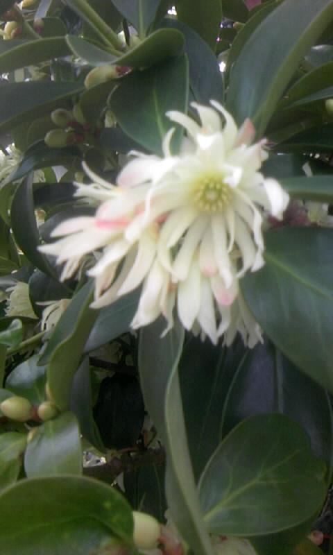 100327_160040シキビの花