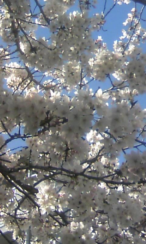 100329_152306満開の桜