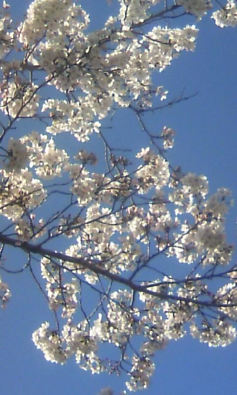 100329_152326満開の桜