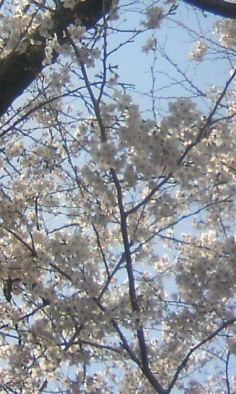 100403_150427小学校跡地の桜