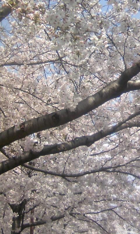 100406_125759桜