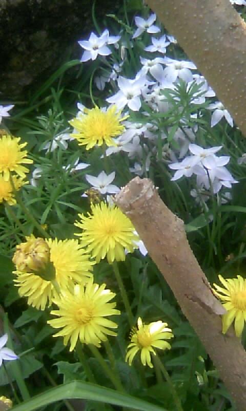 100406_140816花ニラ&たんぽぽ