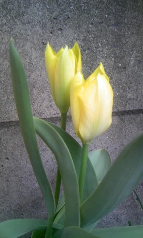 100408_065904チューリップ 黄色