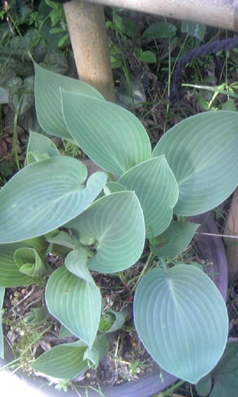 100414_085300ギボウシの葉