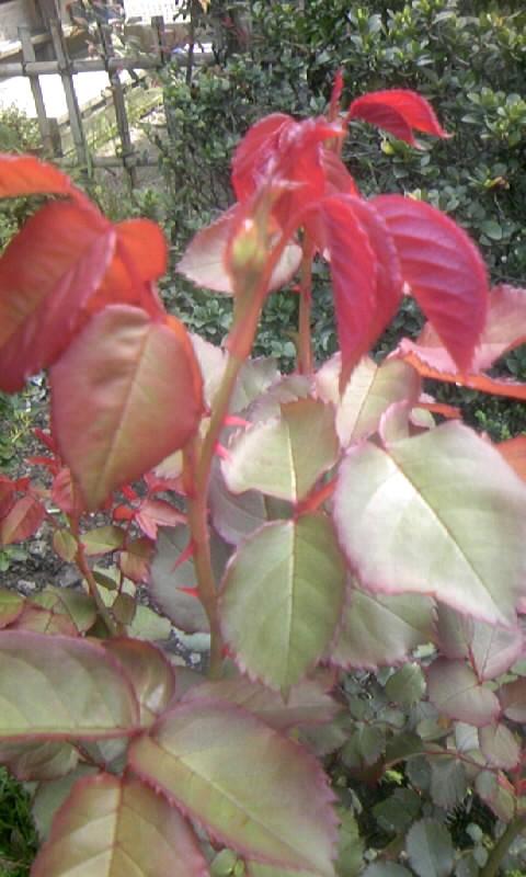 100419_085347紅いバラの葉と蕾
