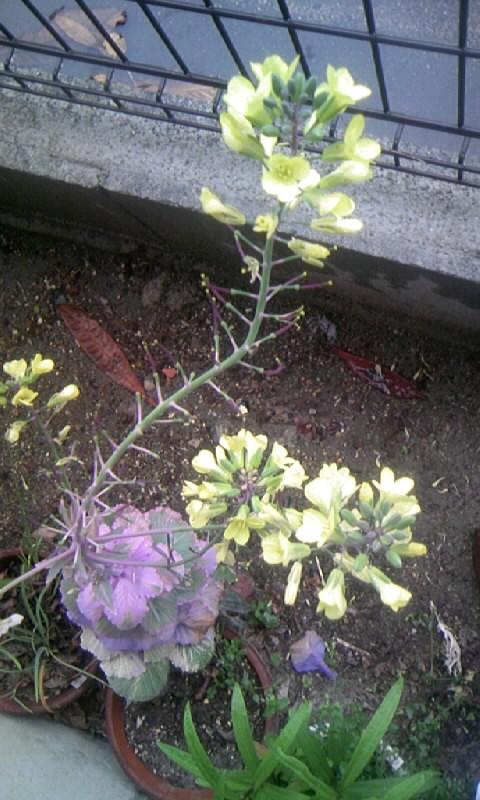 100422_083732葉牡丹の花