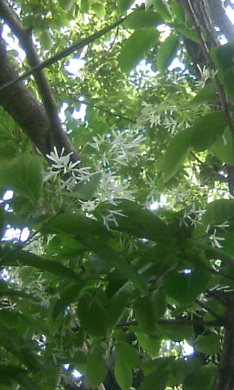 100428_164914ナンジャモンジャの花
