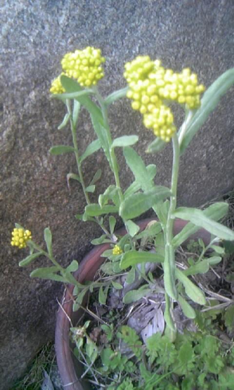 100428_165813黄色い雑草