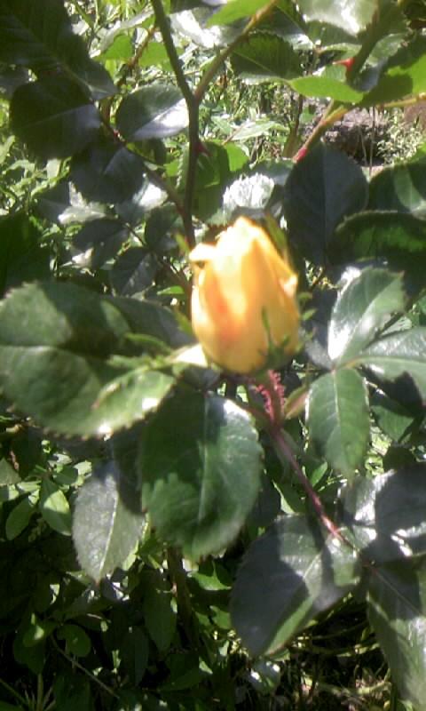 100429_133806薔薇の蕾