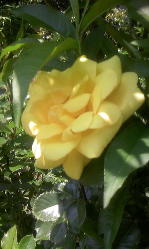 100501_115912薔薇