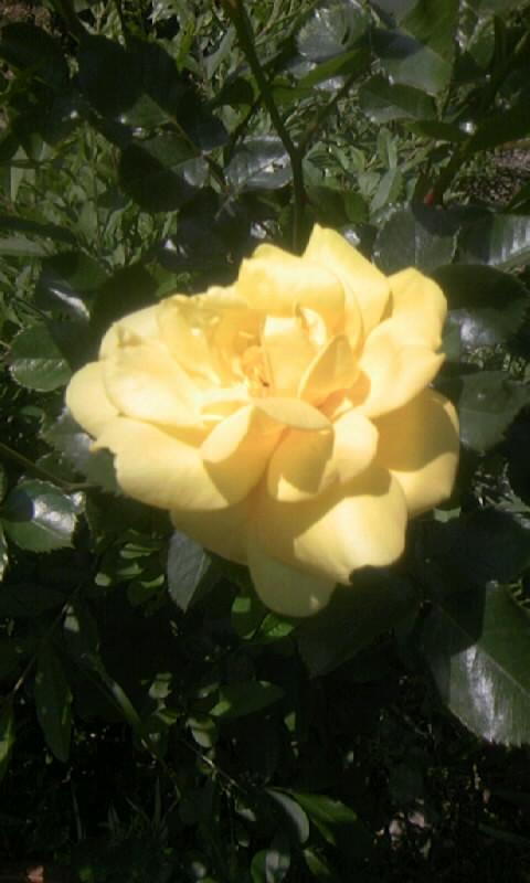 100501_115925薔薇 今年の第一号