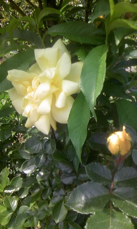 100504_124047黄色い薔薇