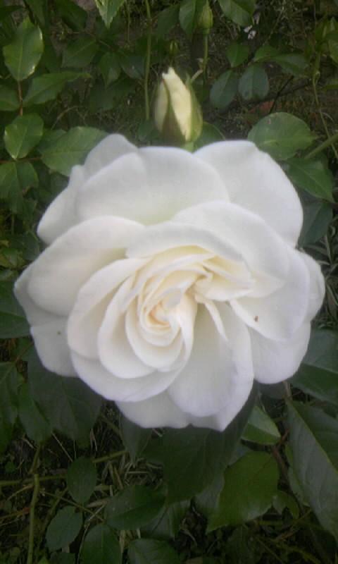 100509_063107白い薔薇
