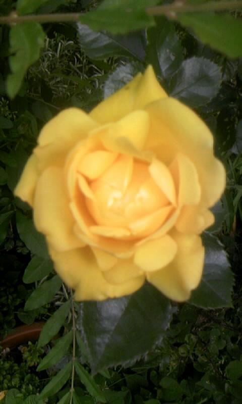 100509_063149黄色い薔薇