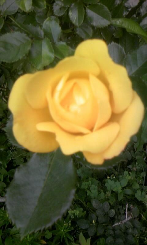 100509_063203黄色い薔薇