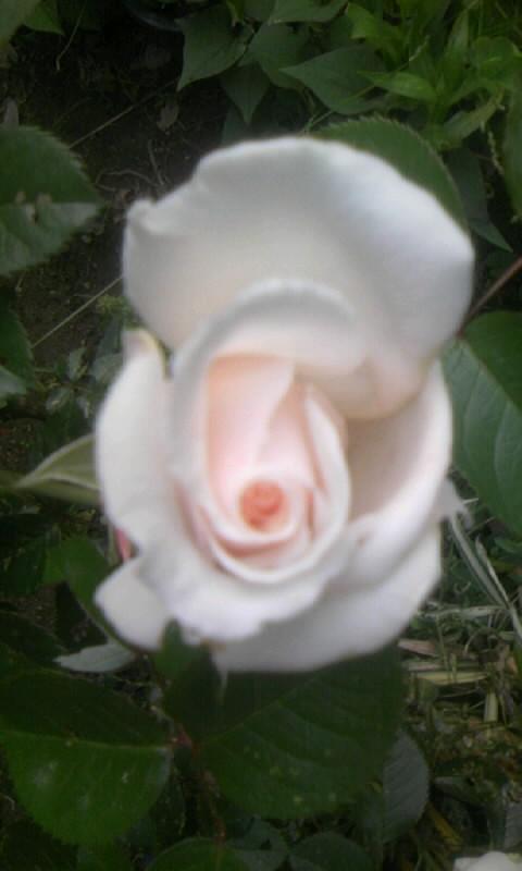 100509_063318白い薔薇