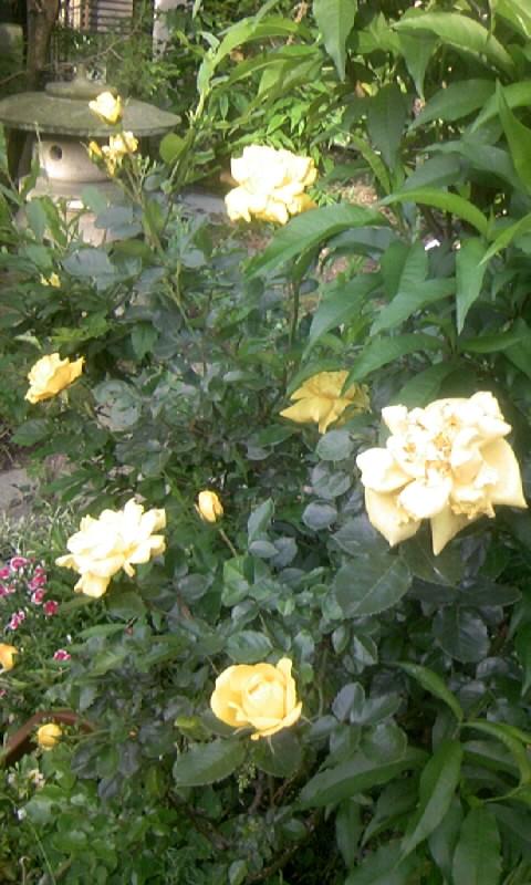 100509_062921黄色い薔薇