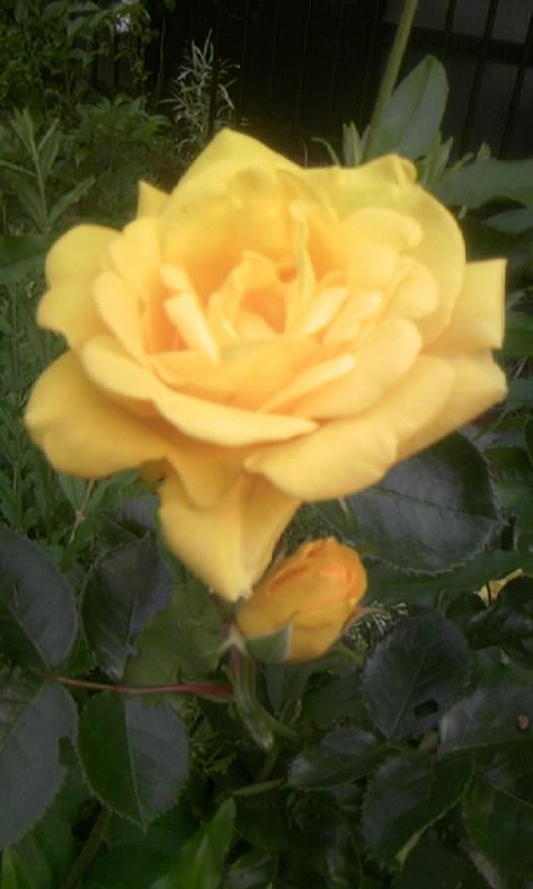 100510_064407黄色い薔薇