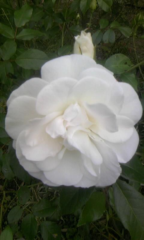 100510_064426白薔薇