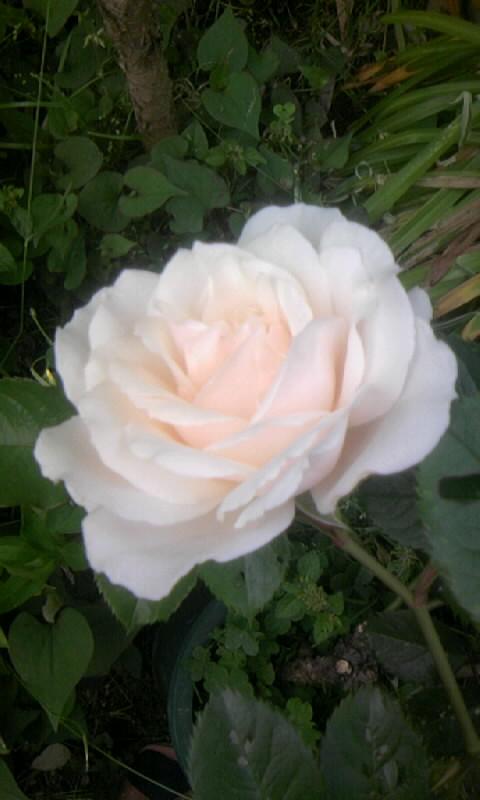 100510_064537薔薇