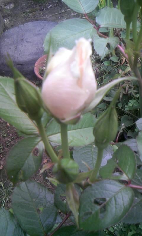 100510_064619薔薇の蕾