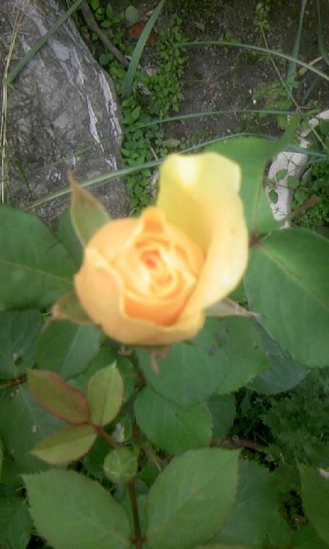 100510_065119薔薇