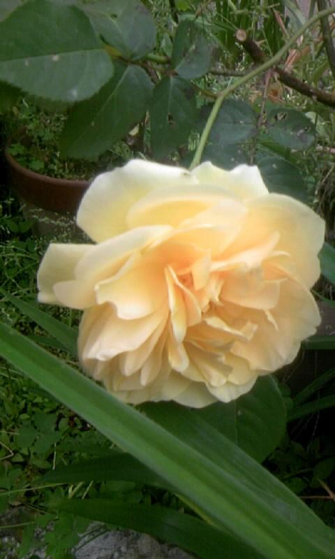 100510_065342薔薇