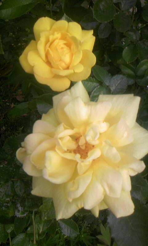 100510_070401薔薇