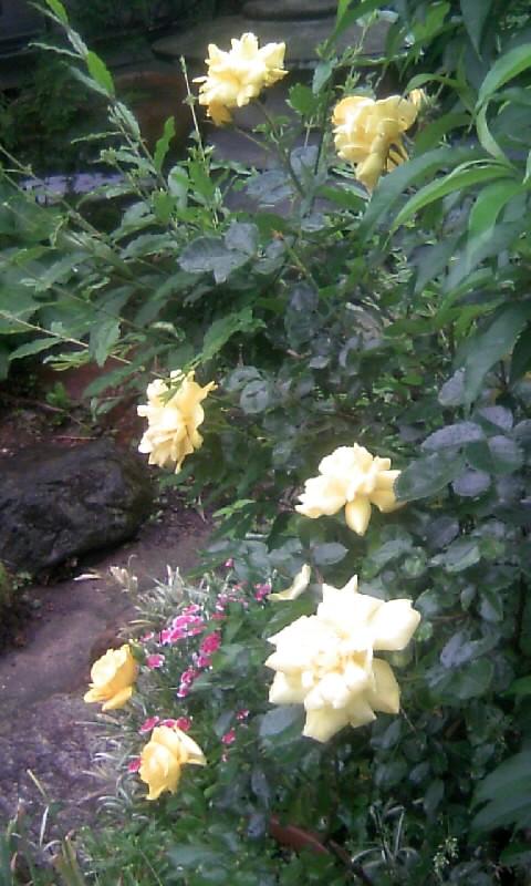 100511_075121黄色い薔薇