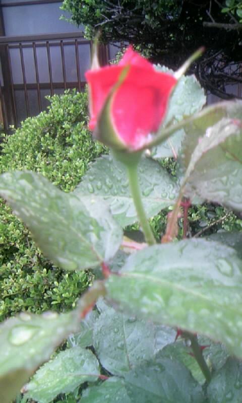 100511_074903赤い薔薇の蕾