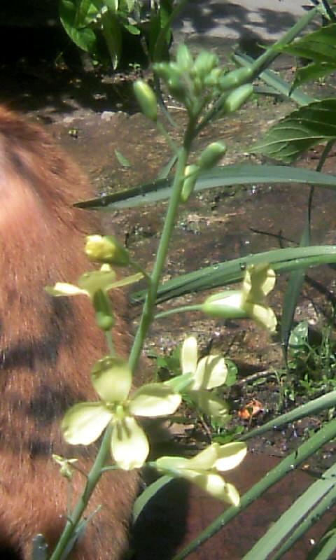 100515_105325葉牡丹の花