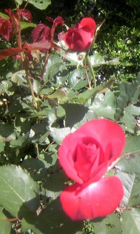 100515_102920紅い薔薇
