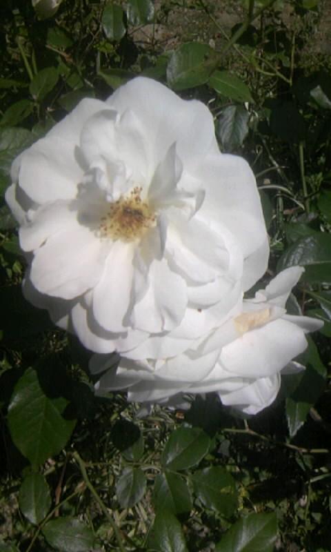 100515_102830白薔薇
